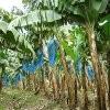 Jeu Jigsaw: Banana Plants